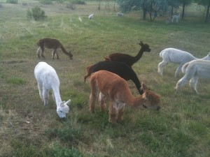 Alpacas grazing in the pasture
